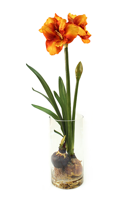 Gold yellow flowering amaryllis bulb plant in glass vase