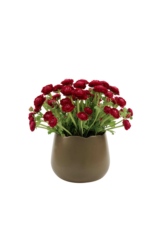 Ranunculus in burgendy red, ceramic vase